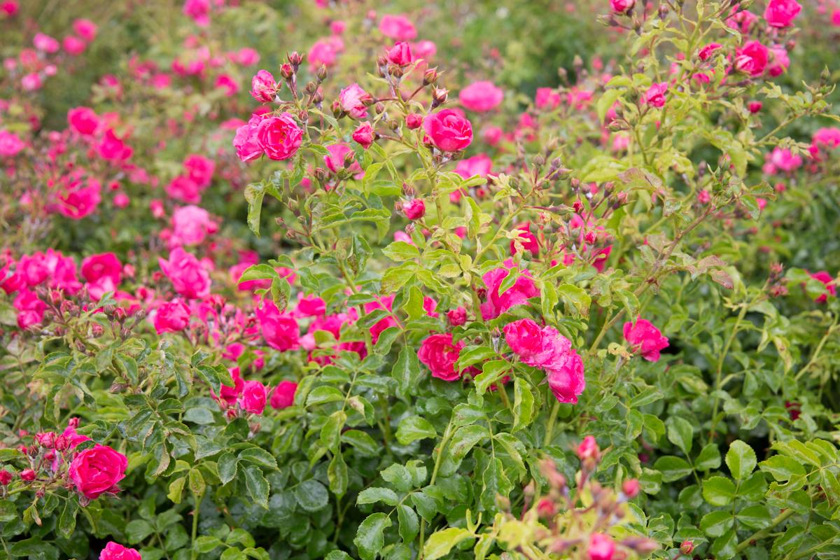 Blumenpracht im Frühsommer in Wolfsburg.